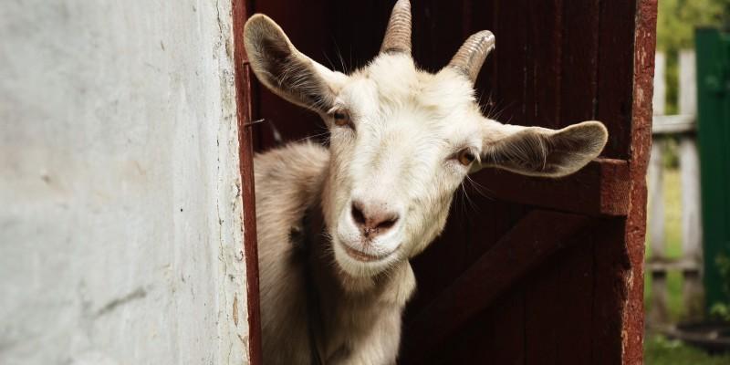 A Goat for Rahim