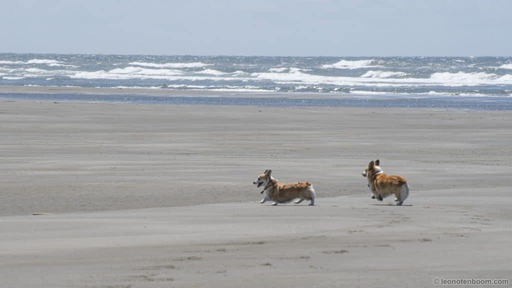 Corgis on the Beach